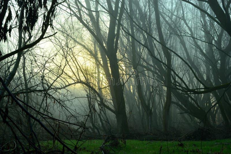 Mattina nebbiosa in foresta immagini stock