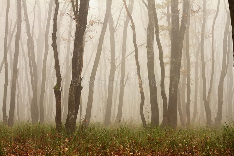 Mattina nebbiosa nel legno immagine stock