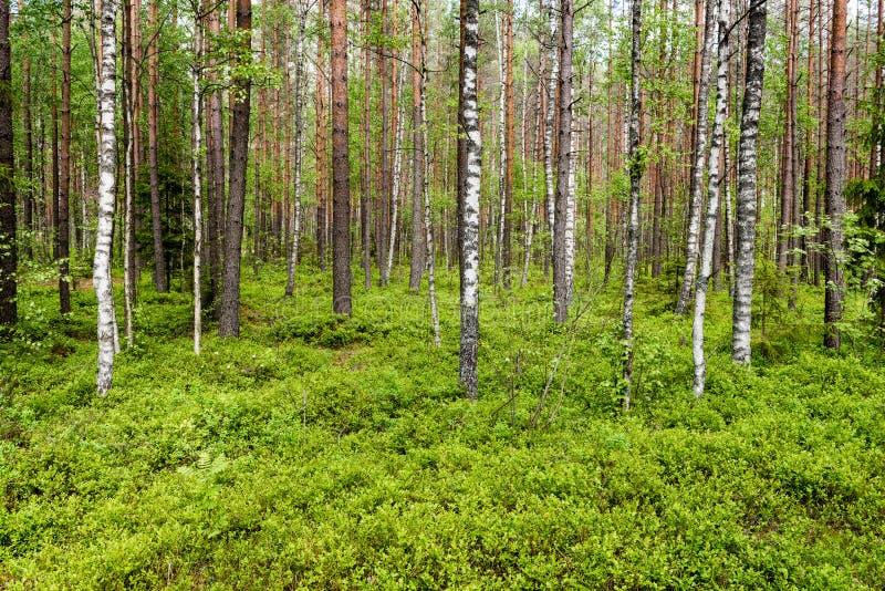 Mattina nebbiosa nel legno fotografia stock libera da diritti