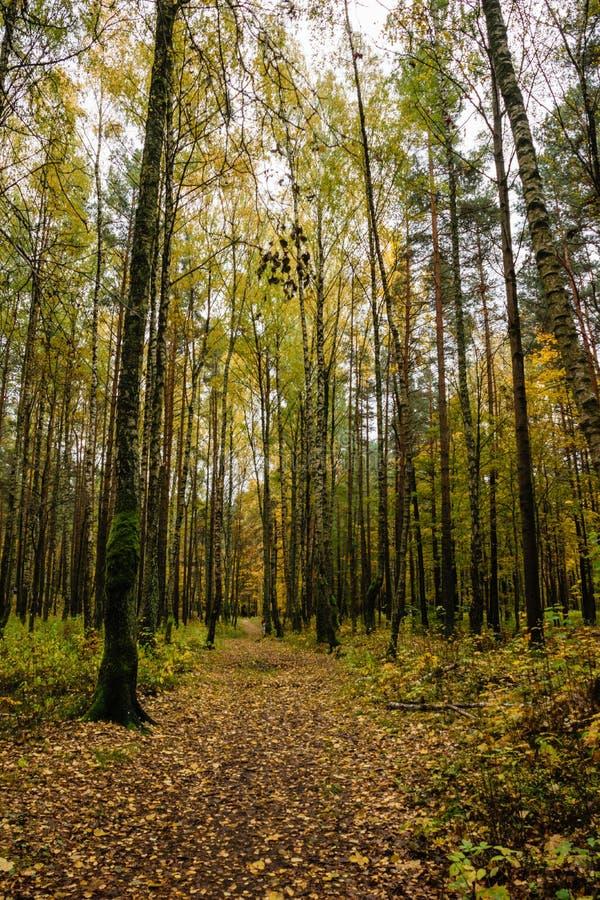 Mattina nebbiosa nel legno foresta con i tronchi di albero fotografie stock libere da diritti