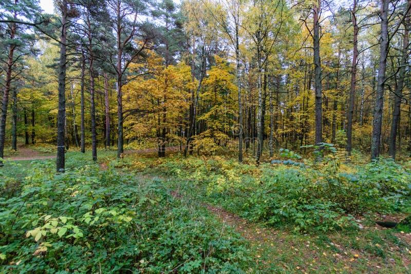 Mattina nebbiosa nel legno foresta con i tronchi di albero immagine stock