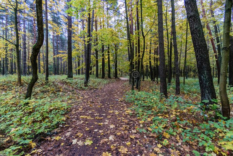 Mattina nebbiosa nel legno foresta con i tronchi di albero immagini stock libere da diritti