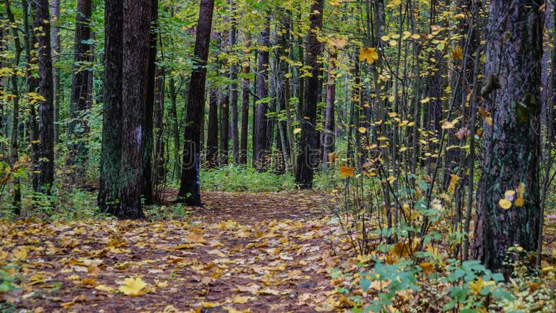 Mattina nebbiosa nel legno foresta con i tronchi di albero fotografia stock libera da diritti