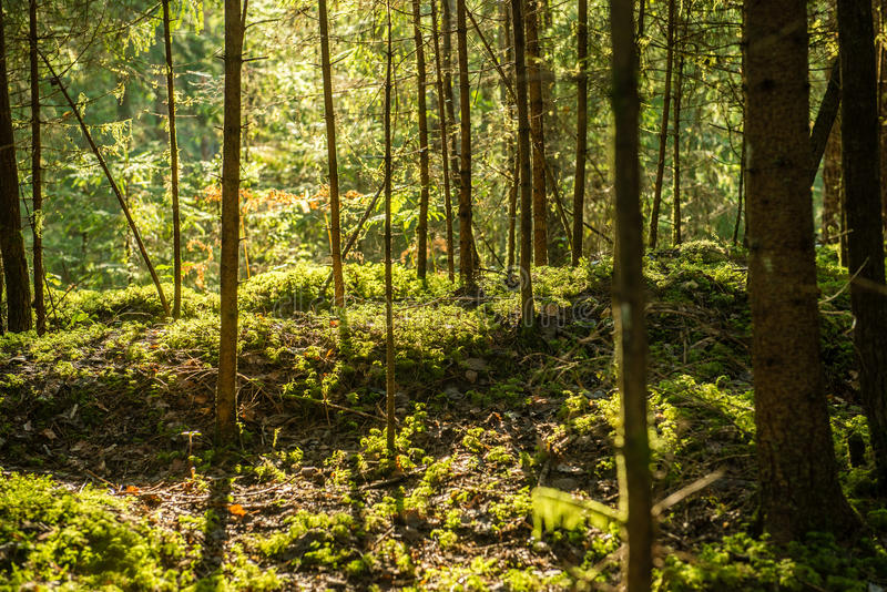 Mattina nebbiosa nel legno foresta con i tronchi di albero immagine stock libera da diritti