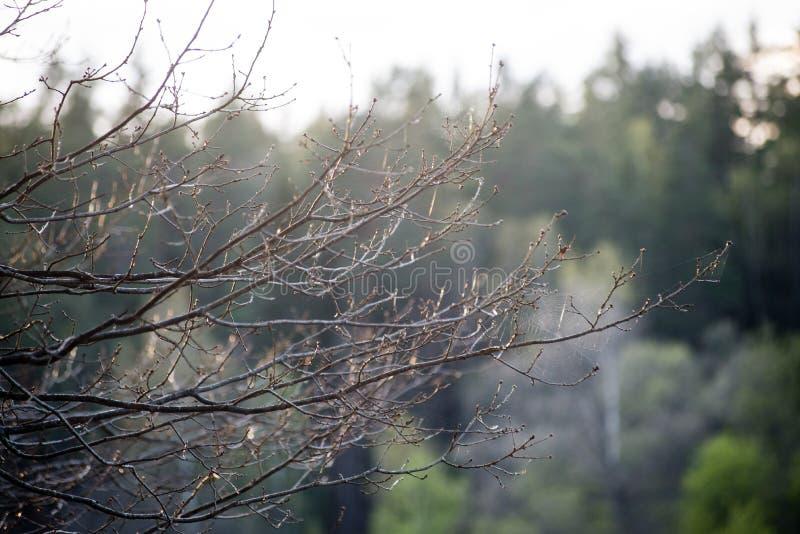 Mattina nebbiosa nel legno foresta con i tronchi di albero fotografie stock