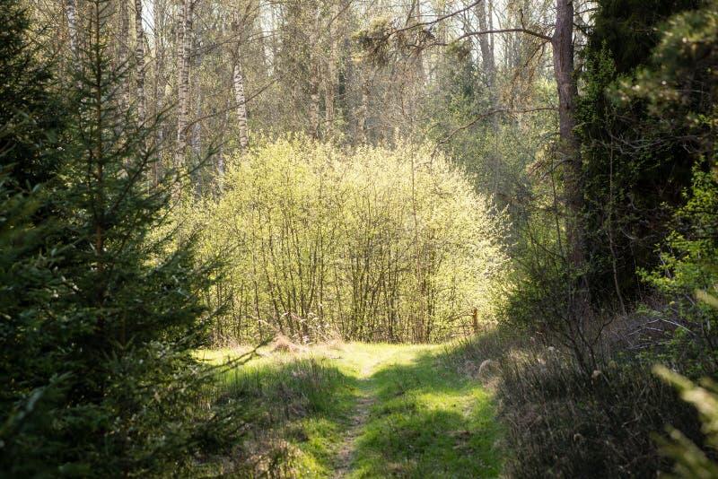 Mattina nebbiosa nel legno foresta con i tronchi di albero immagini stock