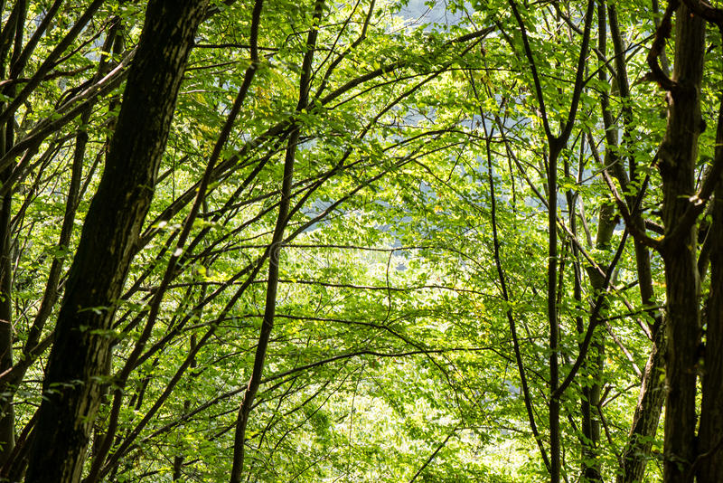 Mattina nebbiosa nel legno foresta con i tronchi di albero fotografia stock