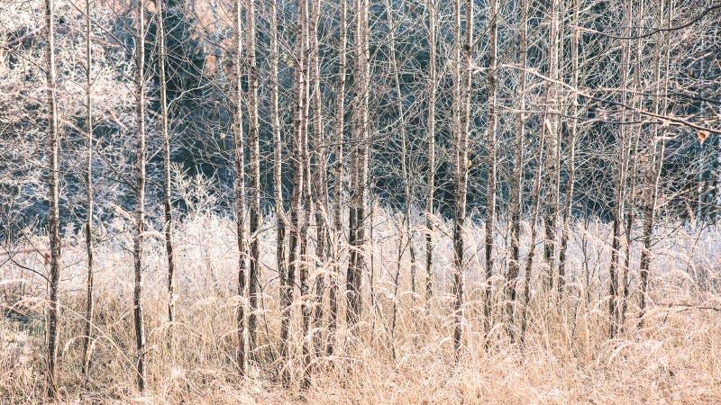 Mattina nebbiosa nel legno foresta con i tronchi di albero - annata fi immagine stock libera da diritti