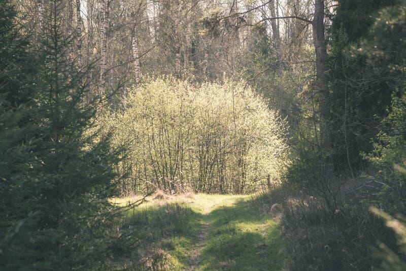 Mattina nebbiosa nel legno foresta con i tronchi di albero - annata fi fotografie stock