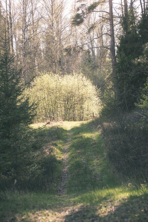 Mattina nebbiosa nel legno foresta con i tronchi di albero - annata fi immagini stock