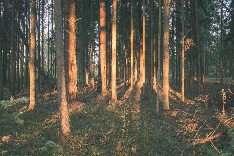 Mattina nebbiosa nel legno foresta con i tronchi di albero - annata fi immagine stock