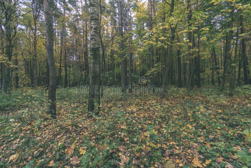 Mattina nebbiosa nel legno foresta con i tronchi di albero - annata con riferimento a immagine stock libera da diritti