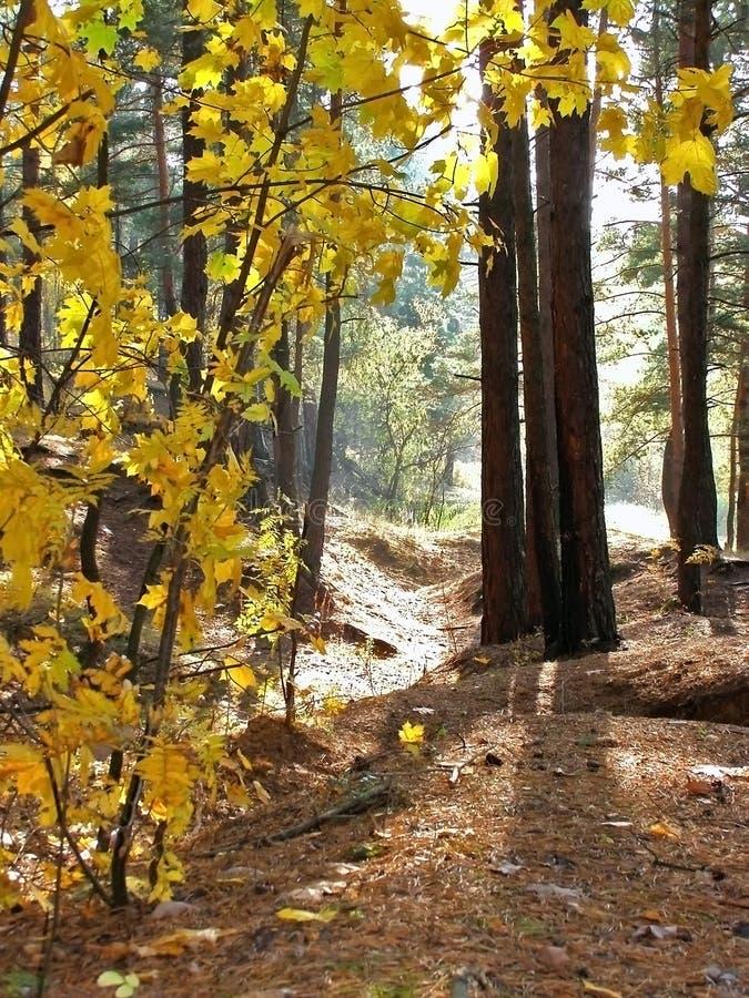 Mattina nella foresta del yhe fotografia stock libera da diritti