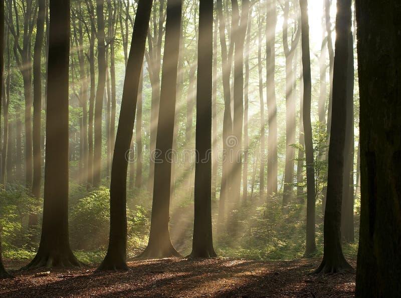 mattina nella foresta nebbiosa   immagine stock libera da diritti