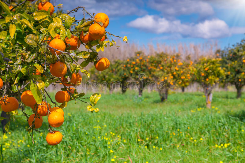 Mattina soleggiata in giardino arancio in Sicilia fotografia stock