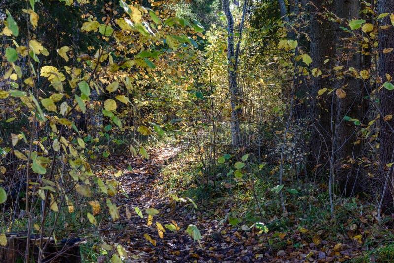 mattina soleggiata nel legno foresta con i tronchi di albero immagine stock