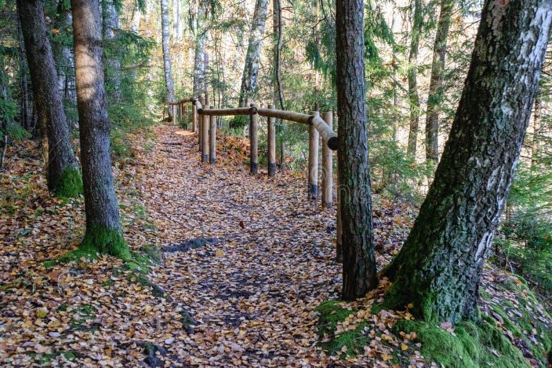 mattina soleggiata nel legno foresta con i tronchi di albero immagine stock libera da diritti