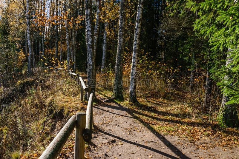 mattina soleggiata nel legno foresta con i tronchi di albero immagini stock