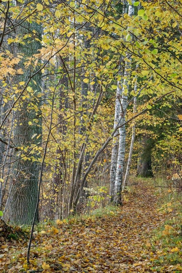 mattina soleggiata nel legno foresta con i tronchi di albero fotografia stock libera da diritti