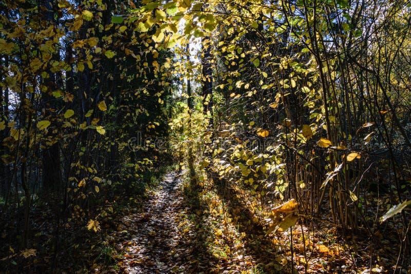 mattina soleggiata nel legno foresta con i tronchi di albero fotografie stock