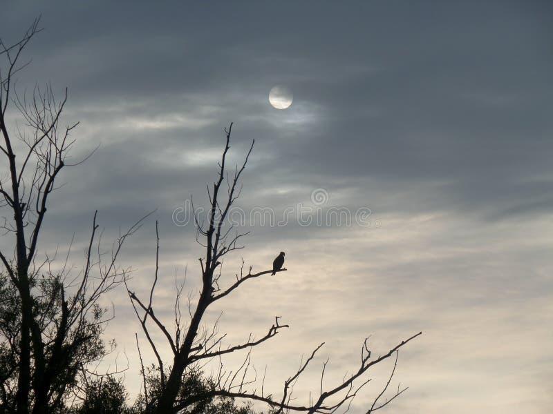Mattina sul falco del lago rice che si siede in un albero nudo immagine stock libera da diritti