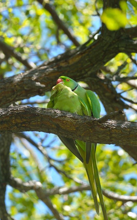 Download Matting Anel-necked Dos Papagaios De Rosa Imagem de Stock - Imagem de bonito, matting: 29848173