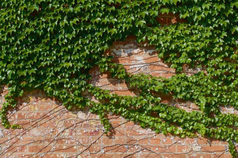 Mattoni dell'edera del sole immagine stock