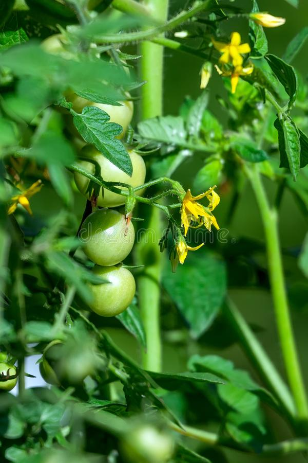 Maturando sui piccoli frutti verdi del cespuglio dei pomodori ciliegia fotografia stock libera da diritti