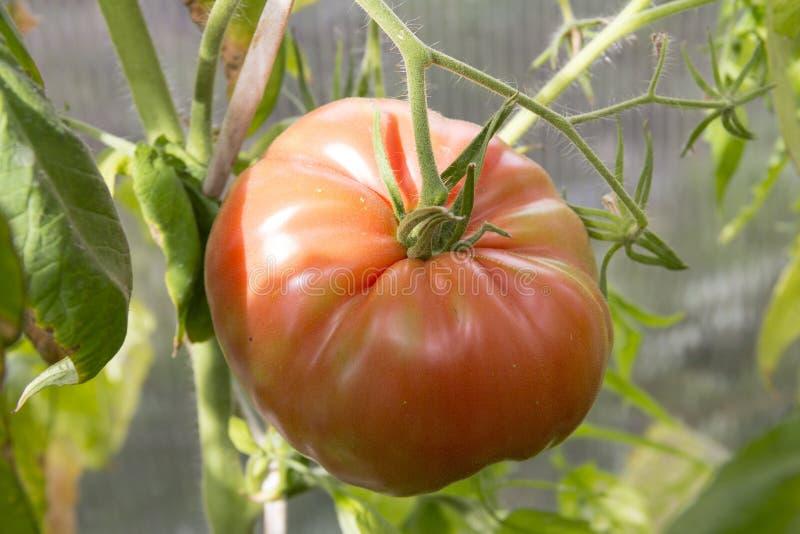 Maturation de tomates images stock