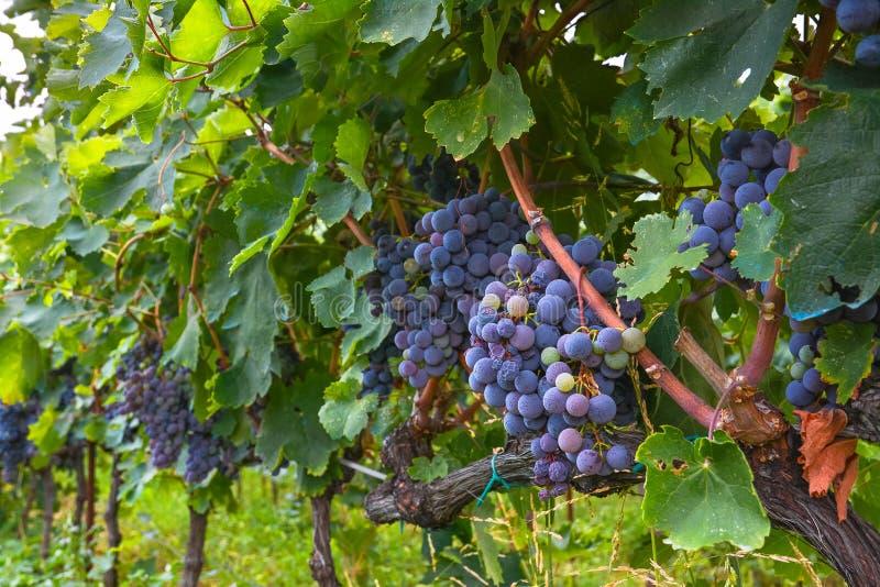 Maturation des groupes de raisins sur le plan rapproché de vigne image libre de droits