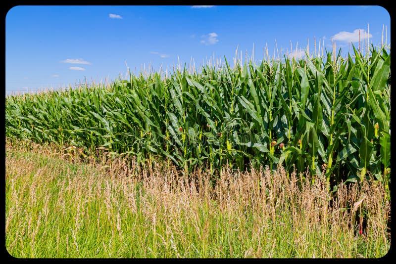Maturazione del giacimento del mais del cereale con le spighe di frumento, la seta e le nappe fotografia stock libera da diritti