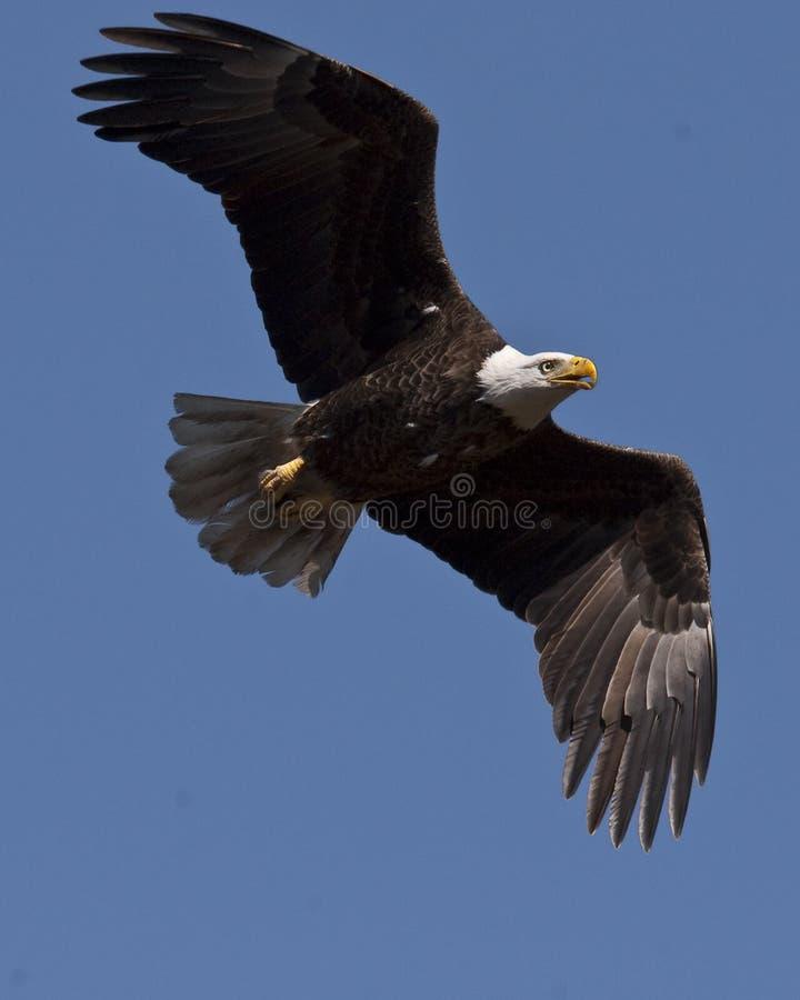 Mature bald eagle. Southern bald eagle in flight