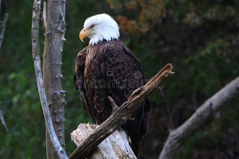 Mature Bald Eagle royalty free stock image