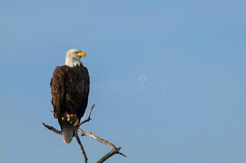 A mature bald eagle perched on a branch at Wiggins Pass, Naples, Florida. Against a clear, blue sky royalty free stock photography