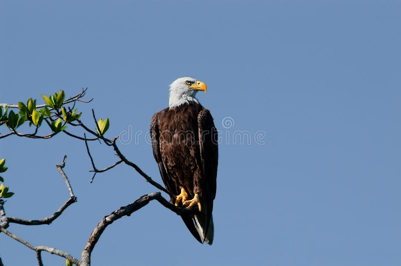 A mature bald eagle perched on a branch at Wiggins Pass, Naples, Florida. Against a clear, blue sky stock photography