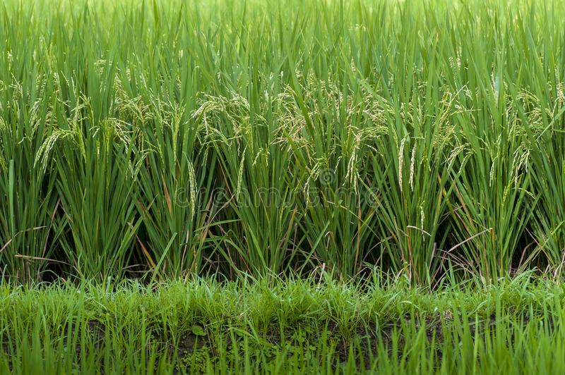 Mature Balinese Rice Field. Rice ready to be harvested in a verdant green field in the village of Ubud, Bali, Indonesia royalty free stock photos