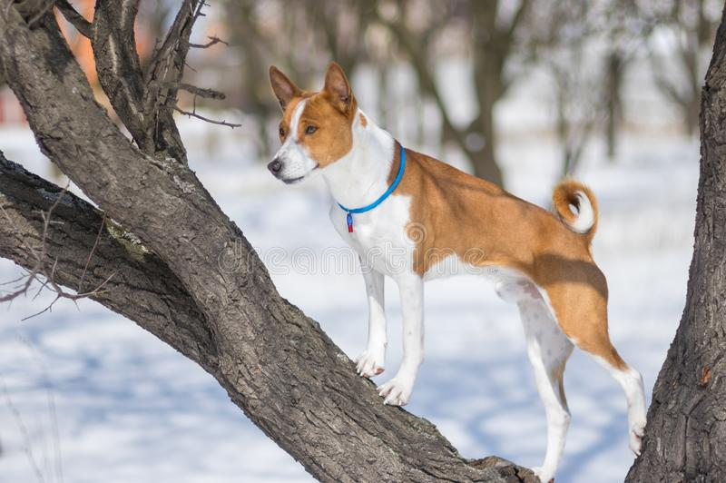 Mature Basenji dog standing on an apricot tree branch royalty free stock image