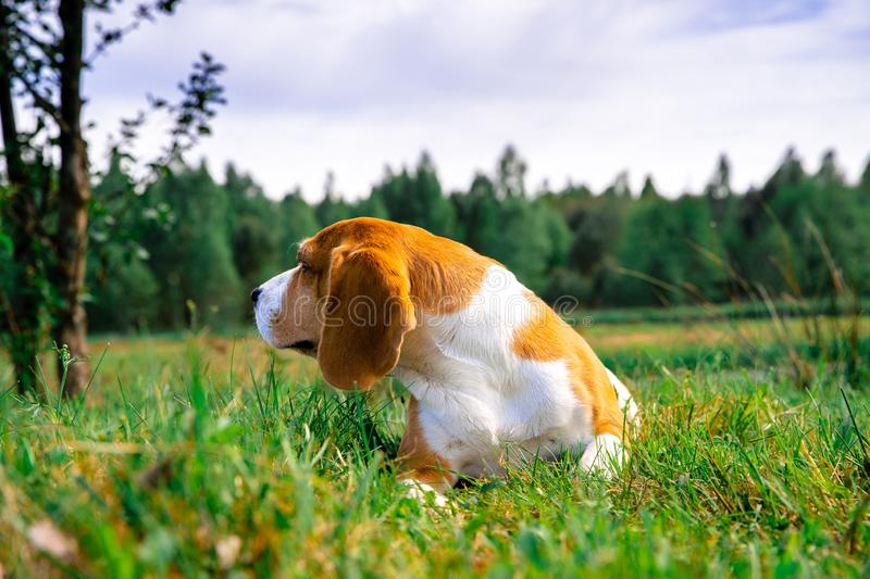 Mature beagle dog royalty free stock images