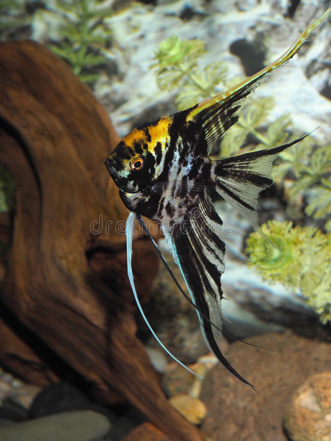 Mature Black and Yellow Long Finned Angel Fish royalty free stock image