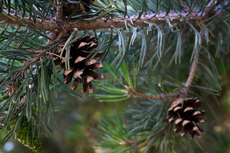 Pine cones on branches in summer royalty free stock photos