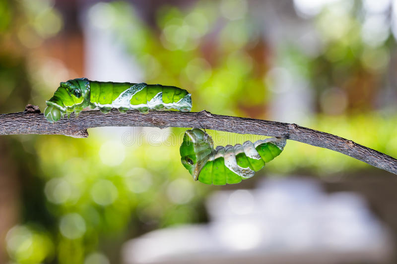 Mature caterpillars of great mormon butterfly stock photography