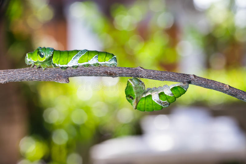 Mature caterpillars of great mormon butterfly. Hanging and walking on twig royalty free stock photos