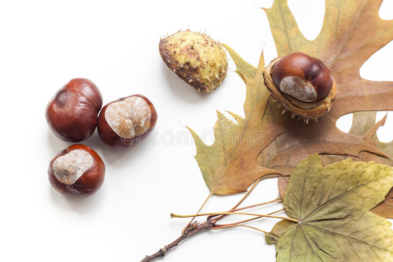 Mature chestnuts and autumn leaves isolated on white background, close up. Selective focus stock image