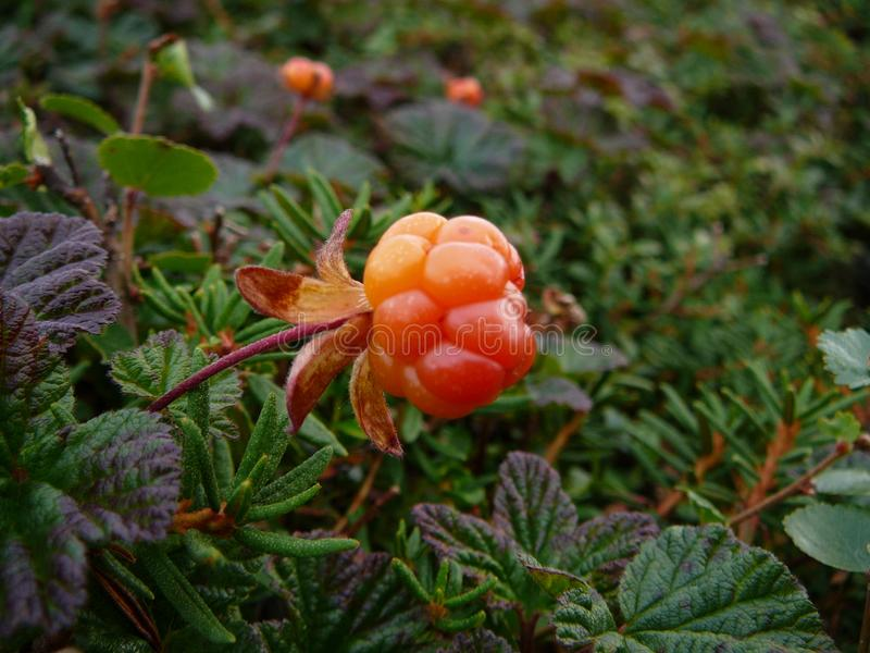 Mature cloudberry in tundra. Mature cloudberry and grass in tundra of polar Russia in summer at midday royalty free stock photo