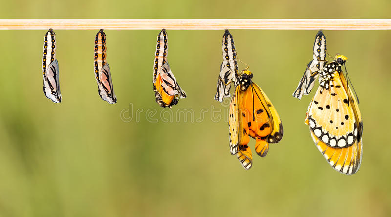 Mature cocoon transform to Tawny Coster butterfly. White clipping path stock photo