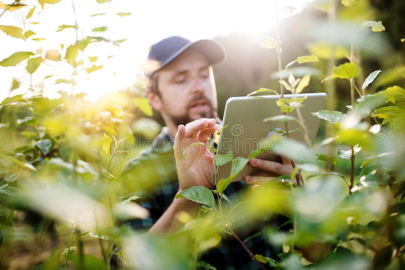A mature farmer with tablet standing outdoors in orchard. stock photography