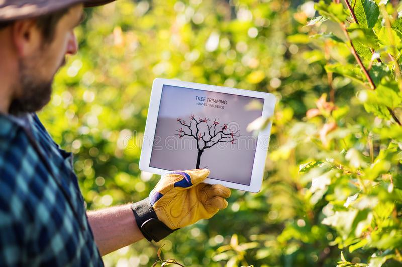 A mature farmer with tablet standing outdoors in orchard, trimming trees. stock photography
