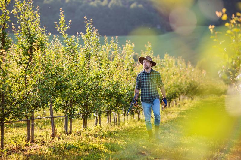 A mature farmer walking outdoors in orchard. Copy space. royalty free stock image