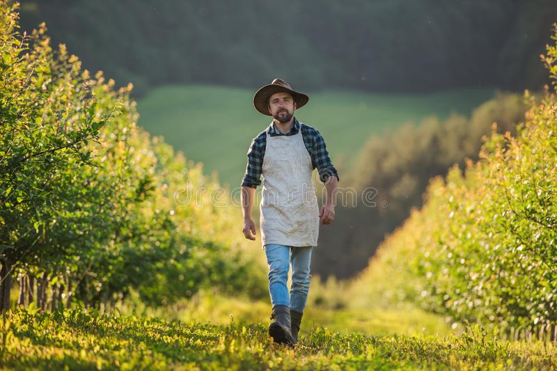 A mature farmer walking outdoors in orchard. Copy space. stock image