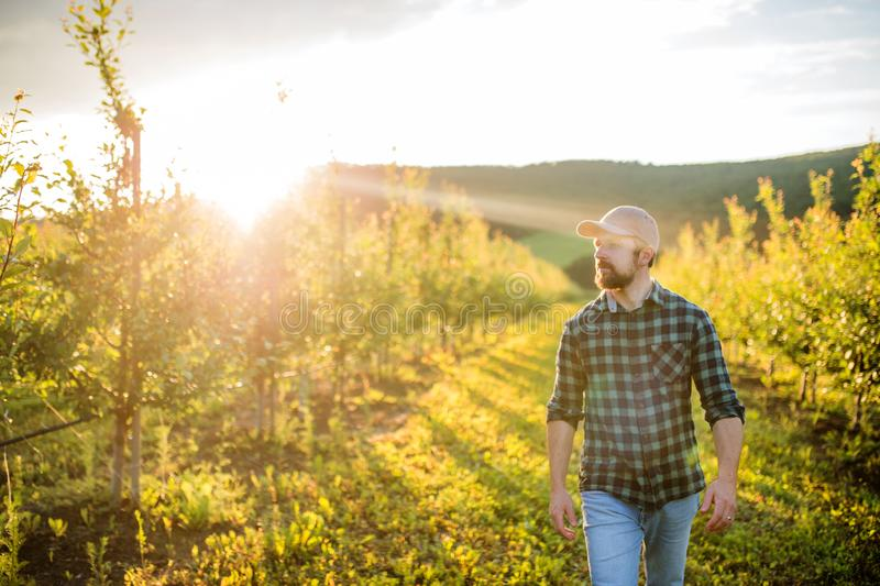 A mature farmer walking outdoors in orchard at sunset. Copy space. royalty free stock image